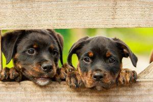 perro rottweiler cachorros valla campo
