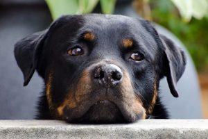perro rottweiler campo adolescente atento mirada
