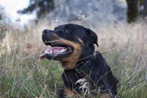 perro rottweiler campo atento