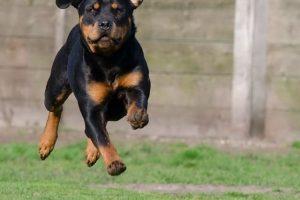 perro rottweiler campo correr
