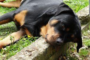 perro rottweiler campo descanso