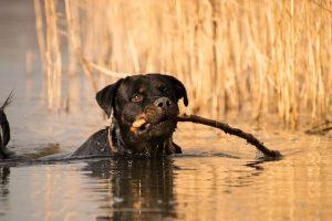perro rottweiler campo rio agua jugar palo