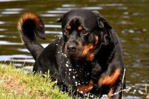 perro rottweiler campo rio atento pose