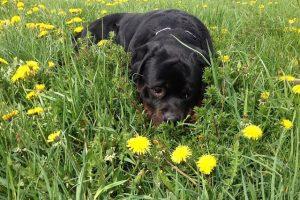perro rottweiler campo sonrisa feliz