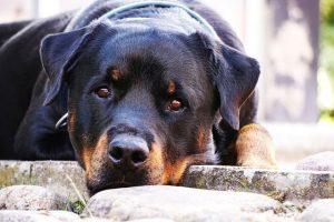perro rottweiler campo tumbados mirada