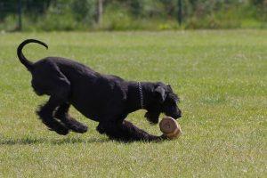 imagen de un schnauzer jugando en el campo