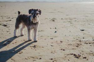 imagen de un schnauzer posando en la playa
