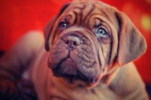 imagen deun Dogo de Burdeos cachorro atento tumbado en la cama