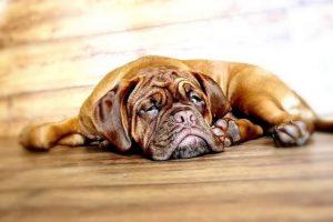 imagen de un Dogo de Burdeos cachorro atento tumbado en la cama