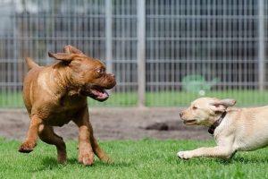 imagen de un Dogo de Burdeos cachorro jugando con otro cachorro