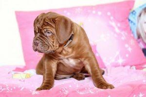 imagen de un Dogo de Burdeos cachorro sentado en cojines rosas