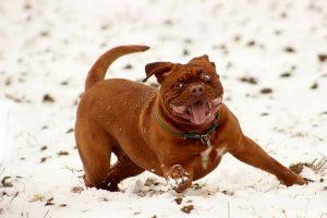 imagen de un Dogo de Burdeos corriendo muy feliz por la nieve
