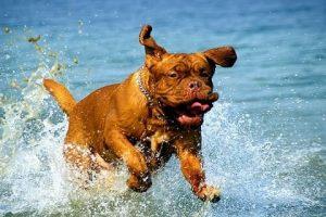 imagen de un Dogo de Burdeos corriendo por el agua de la playa
