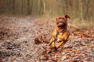 imagen de unDogo de Burdeos corriendo por el campo disfrutando mucho