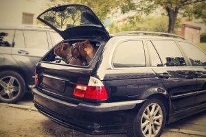 imagen de un Dogo de Burdeos en el coche listos para ir de viaje