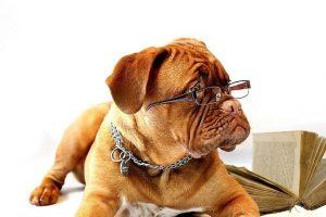 imagen de un Dogo de Burdeos intelectual