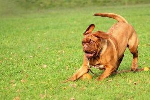 imagen de un Dogo de Burdeos jugando con su pelota en el jardin