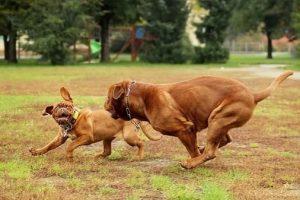 imagen de un Dogo de Burdeos jugando con un amigo