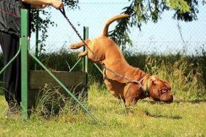 imagen de un Dogo de Burdeos saltando prueba agility