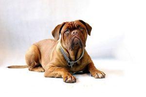 imagen de un Dogo de Burdeos tumbado y atento