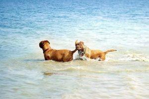 imagen de un Dogos de Burdeos andando por el agua de la playa