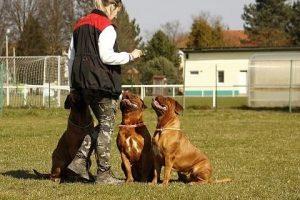 imagen de un Dogos de Burdeos atentos a la orden del centro de adiestramiento