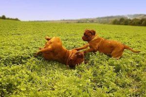 imagen de un Dogos de Burdeos cachorros jugando en el patio de casa