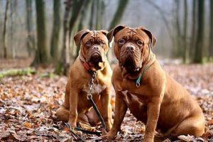 imagen de unos Dogos de Burdeos sentados en el campo