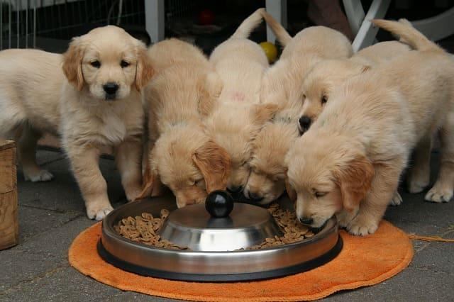 Perros golden retriever comiendo