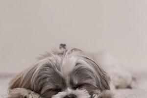 imagen de un Shih Tzu blanco y gris dormido en la alfombra