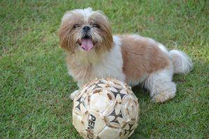 imagen de un Shih Tzu cachorro blano y marron claro con su balon en el jardin