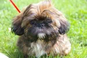imagen de un Shih Tzu cachorro sentado en el jardin listo para salir