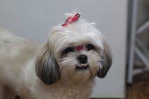 imagen de un Shih Tzu hembra pelo corto blanco y gris en casa