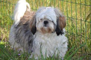 imagen de un Shih Tzu macho blanco y marron claro pelo largo en el jardin junto la valla