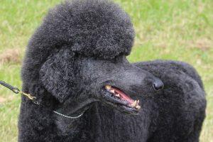 imagen de un caniche de pelo largo negro