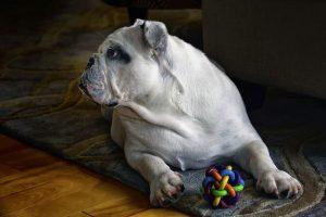 imagen de un bulldog ingles atento en casa