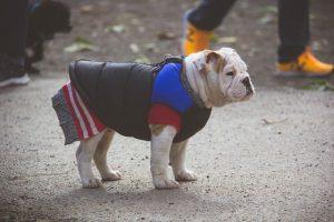 imagen de un bulldog ingles bien equipado en la calle para no pasar frio