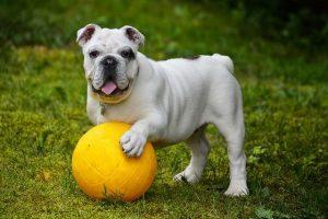 imagen de un bulldog ingles blanco jugando con la pelota en el jardin