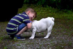 imagen de un bulldog ingles blanco jugando con un niño en el jardin