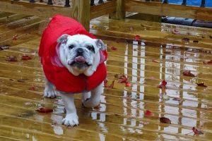 imagen de un bulldog ingles con su chubasquero para la lluvia