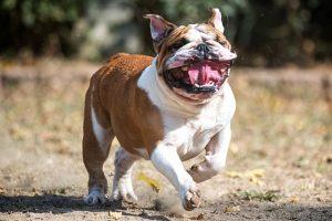 imagen de un bulldog ingles corriendo con la boca abierta en el campo