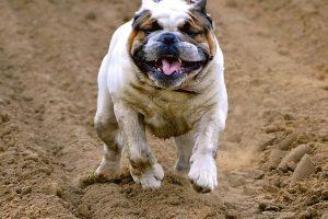 imagen de un bulldog ingles corriendo muy feliz por la arena de la playa