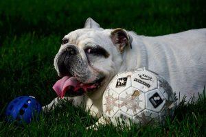 imagen de un bulldog ingles feliz con sus juguetes en el jardin