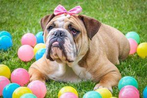 imagen de un bulldog ingles hembra marron y blanco jugando en el jardin con sus pelotas de colores