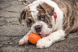 imagen de un bulldog ingles jugando con pelota tranquilo en la calle