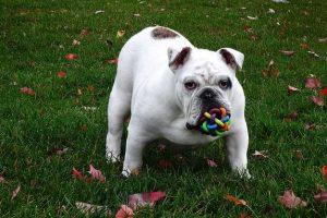 imagen de un bulldog ingles jugando en el parque