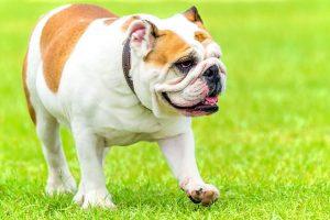 imagen de un bulldog ingles marron claro y blanco jugando en el parque