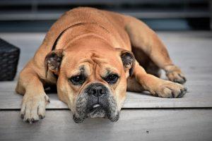 imagen de un bulldog ingles marron tumbado en la entrada de casa
