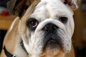 imagen de un bulldog ingles marron y blanco sentado y atento