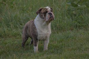 imagen de un bulldog ingles muy atento en el campo